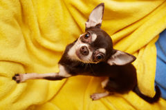 słodkie chihuahua Zdjęcie Royalty Free