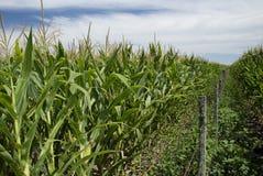 słodkie kukurydzane plantacje Zdjęcia Stock