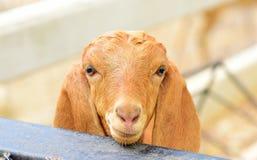 słodkie owce fotografia stock