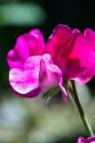 Słodkiego grochu kwiat Zdjęcia Royalty Free