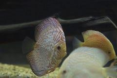 Słodkowodna dysk ryba Fotografia Stock