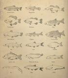 Słodkowodna ryba ilustracja wektor
