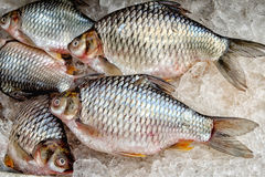 Słodkowodna ryba Zdjęcie Stock
