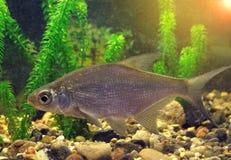 Słodkowodna ryba w ich naturalnym siedlisku Fotografia Stock