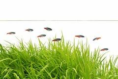 Słodkowodne ryba Obraz Royalty Free