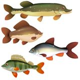 Słodkowodne ryba Obrazy Royalty Free