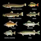 Słodkowodnej ryby gatunki ilustracji