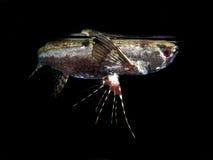 Słodkowodni butterflyfish zdjęcie royalty free