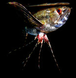 Słodkowodni butterflyfish Fotografia Royalty Free