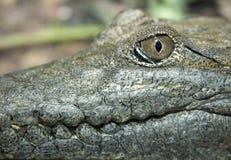 słodkowodny australijski krokodyl Obraz Royalty Free