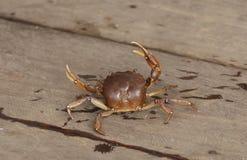 Słodkowodny krab Zdjęcia Stock