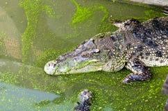 Słodkowodny krokodyla, aligatora lub krokodyla bagno Obrazy Royalty Free
