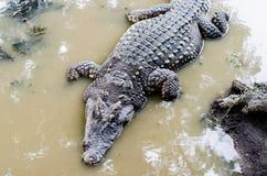 Słodkowodny krokodyla, aligatora lub krokodyla bagno Obraz Stock