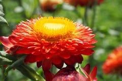 Słomiany kwiat Obrazy Royalty Free