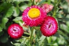 Słomiany kwiat Obraz Stock