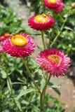 Słomiany kwiat Zdjęcie Stock