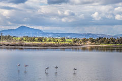 Słone jezioro z flamingami blisko Larnaka, Cypr Obraz Royalty Free