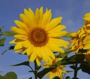 słonecznik Obrazy Royalty Free