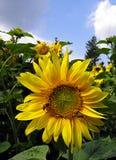 Słonecznik Fotografia Royalty Free