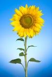 słonecznik Obrazy Stock