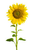 słonecznik Fotografia Stock
