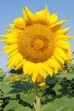 Słonecznik 2 Zdjęcia Royalty Free