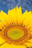 Słonecznik Zdjęcie Royalty Free