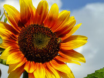 3 słonecznik Obraz Stock