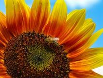 Słonecznik 2 Obraz Stock