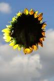 Słonecznik bez trzonu Zdjęcie Royalty Free