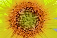słonecznik, blisko Obrazy Royalty Free