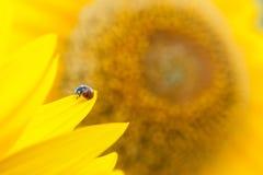 słonecznik, blisko Fotografia Royalty Free