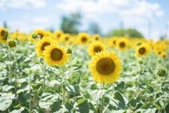 s?onecznik, blisko jaskrawy słonecznika pole nad chmurnymi niebieskiego nieba i słońca światłami ?wiat?o dzienne Kartka z pozdrow obrazy stock