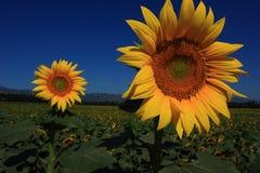 słonecznik dwa zdjęcia royalty free