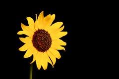 słonecznik dziki Fotografia Stock