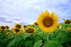 Słonecznik graden Zdjęcie Stock