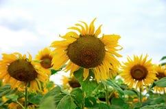Słonecznik graden Zdjęcia Stock
