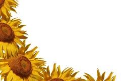 słonecznik graniczny Zdjęcia Royalty Free