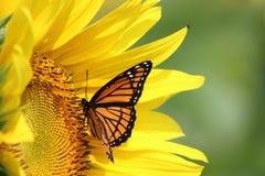 Słonecznik i monarcha Obraz Stock