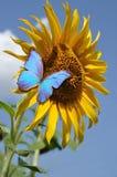Słonecznik i motyl Fotografia Royalty Free