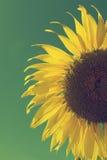 Słonecznik i niebieskie niebo, rocznika filtr Obrazy Royalty Free
