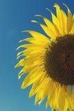 Słonecznik i niebieskie niebo, rocznika filtr Obraz Stock