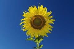 Słonecznik i niebieskie niebo, rocznika filtr zdjęcie royalty free