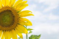 Słonecznik i niebo Obrazy Royalty Free