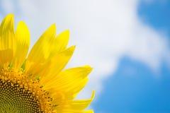 Słonecznik i niebo Fotografia Royalty Free