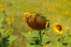 Słonecznik jest suchy Zdjęcie Royalty Free