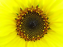 słonecznik makro Zdjęcia Royalty Free