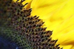 Słonecznik makro- Zdjęcie Stock