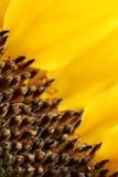 Słonecznik makro- Obrazy Royalty Free