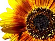 słonecznik makro Zdjęcie Stock
